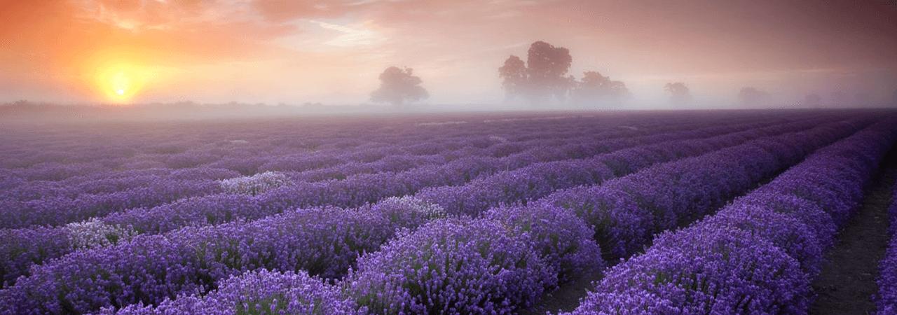 A field od lavender